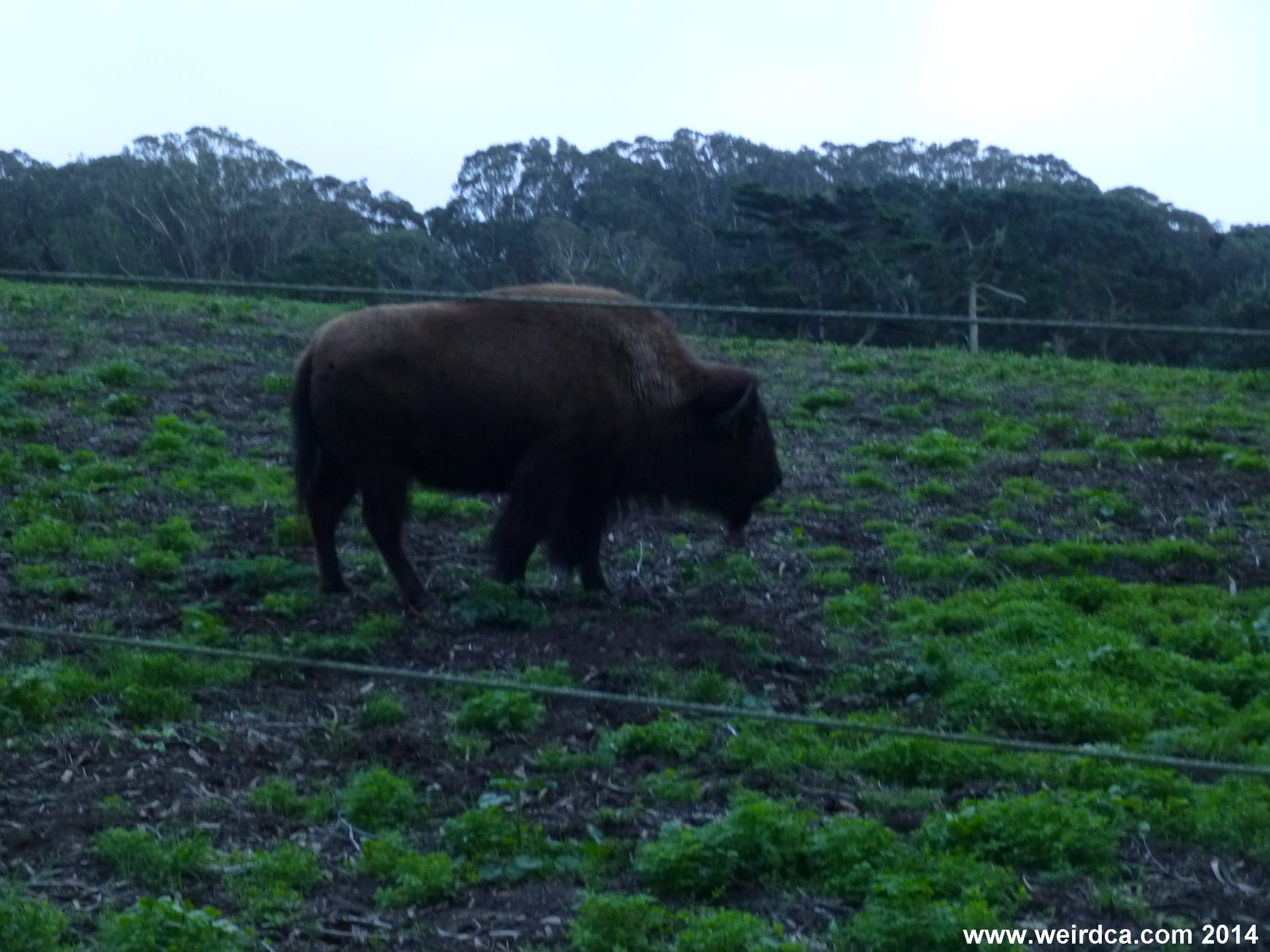 Bison roam Golden Gate Park in San Francisco