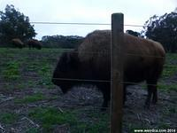 One of the Bison in Golden Gate Park