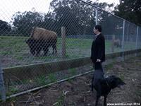 Joe and Ruby meet the bison of San Francisco