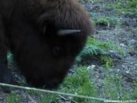 Bison spend most of their time grazing.
