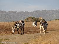 Zebras run wild in the hills south of San Simeon!