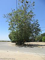 The Sycamore Tree at the end of Sycamore Road