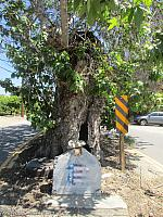 A Lady in White haunts the sycamore tree at the end of Sycamore Road along Highway 126!