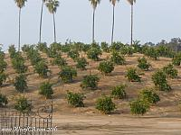 Groves of oranges in Riverside