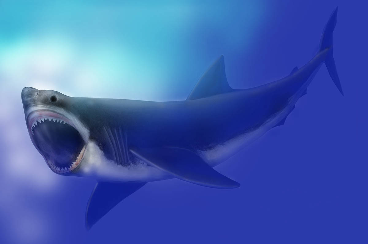 Megalodon Shark - <a href='https://commons.wikimedia.org/w/index.php?curid=56898285'>By Mary Parrish, Smithsonian, National Museum of Natural History -  Public Domain</a>
