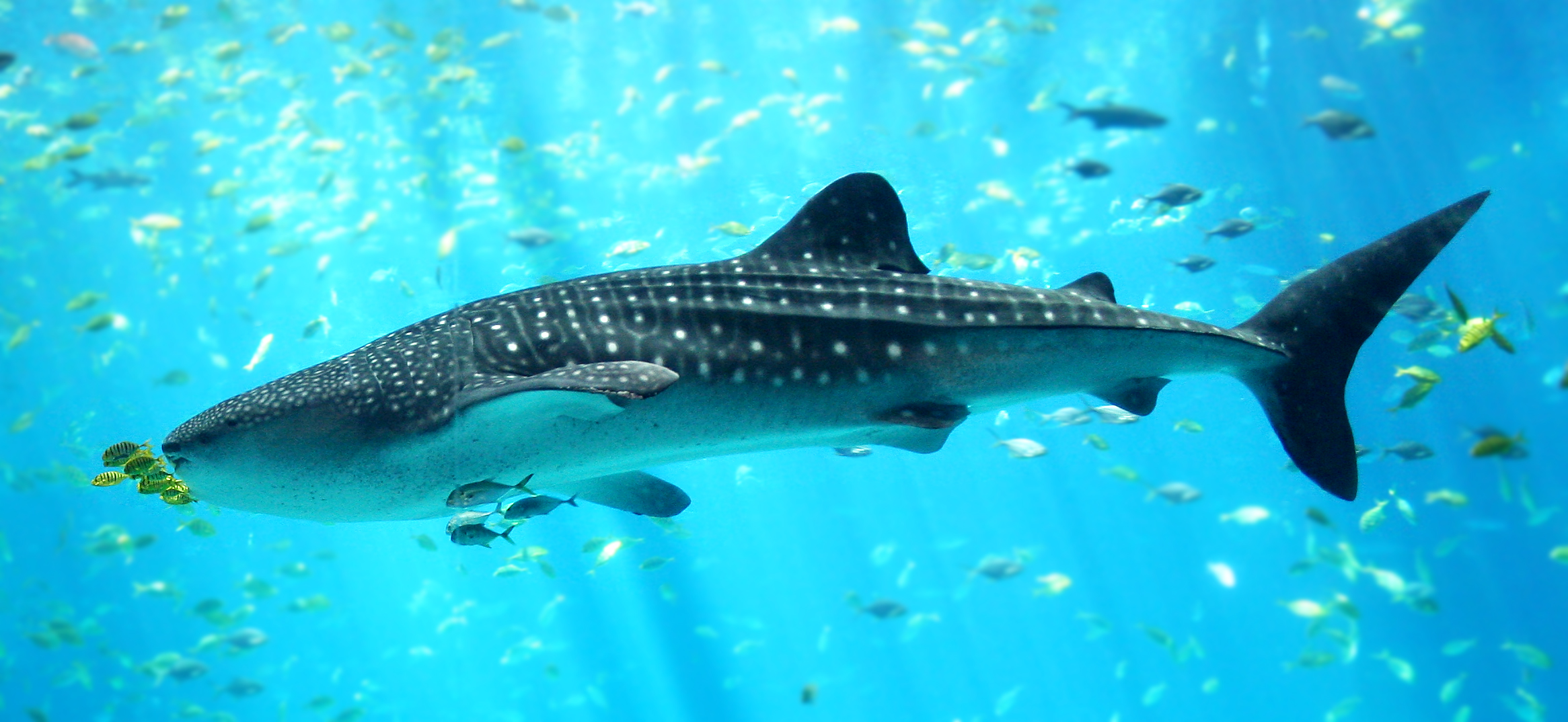 Whale Shark - photo from <a href='https://commons.wikimedia.org/wiki/File:Whale_shark_Georgia_aquarium.jpg'>Wikimedia</a>