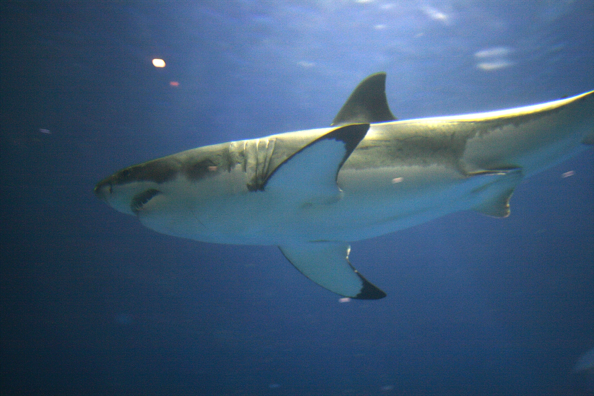 Great White at Monterey Bay Aquarium - <a href='https://commons.wikimedia.org/wiki/File:Great_white_aqurium.jpg'>Photo from Wikimedia</a>