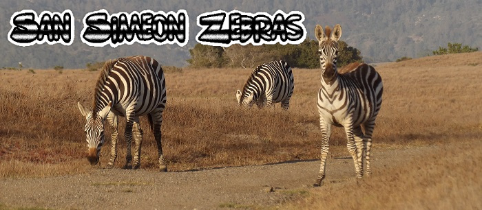 California plays host to a wild herd of zebras!