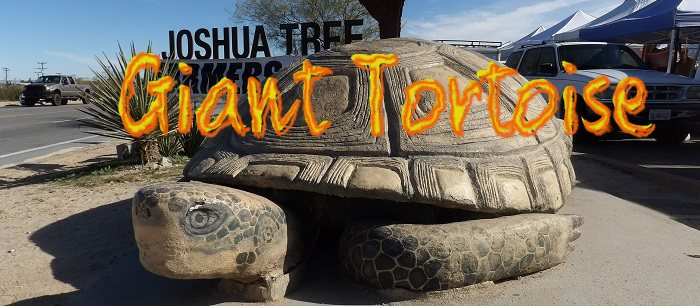 Murtle the Turtle is the World's Largest Desert Tortoise!