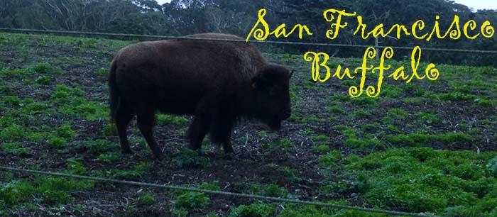 Golden Gate Park Buffalo Paddock