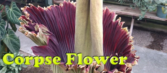 Only blooming every few years, the Corpse Flower is both smelly and the largest of its kind!